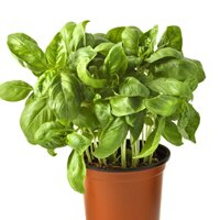 basil herb seeds