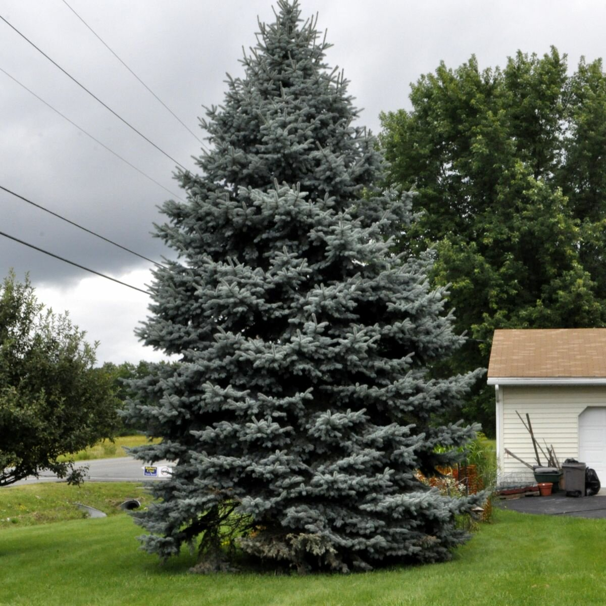 Colorado Blue Spruce Fact: The blue Colorado spruce tree's new growth in the Spring produces the bluest needles. Over the summer and winter seasons the newest needles will lose some of their brilliant blue .