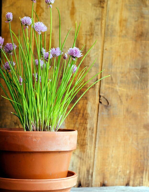 chives herb seeds