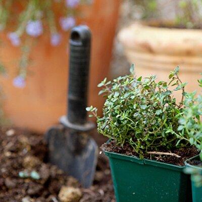 garden thyme herb seeds