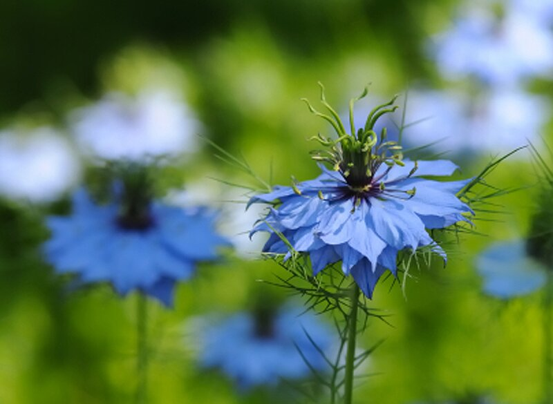 love in a mist flower seeds